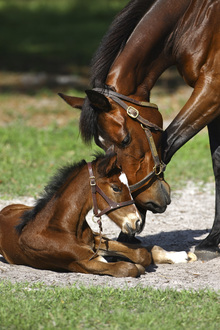 Fototapet - Thoroughbred Horses Cuddling