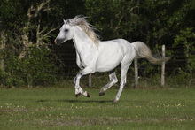 Fototapet - Welsh Pony