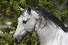 Fototapet - Andalusian with Black Mane
