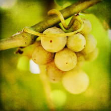 Canvas print - Spring Grapes
