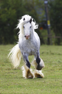 Fototapet - White Irish Cob