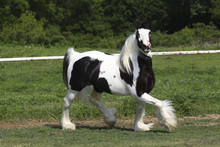 Fototapet - White and Brown Irish Cob