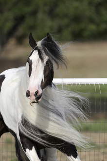 Fototapet - Irish Cob in the Wind