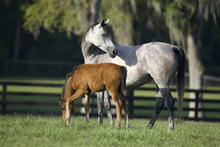 Wall Mural - Hennessy Arabian with Foal