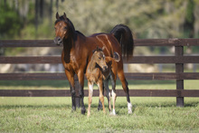 Fototapet - Chestnut Hennessy Arabian with Foal