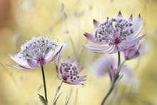 Canvastavla - Astrantia