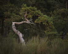 Fototapet - Crooked Conifer