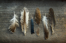 Wall Mural - Feathers on Wood