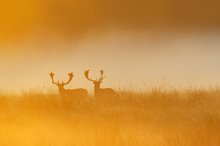 Canvas print - Deers in Yellow Light