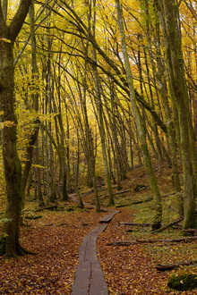 Wall mural - Path through Beech Wood