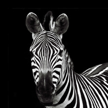 Canvas print - Zebra II Square