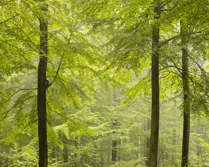 Beech Forest in Torup, Sweden I, Europe