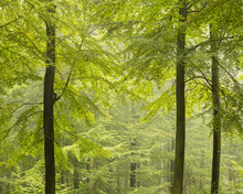 Canvastavla - Beech Forest in Torup, Sweden I, Europe