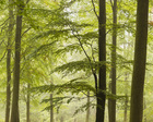 Fototapet - Beech Forest in Torup, Sweden II, Europe