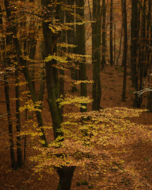 Fototapet - Autumn Forest
