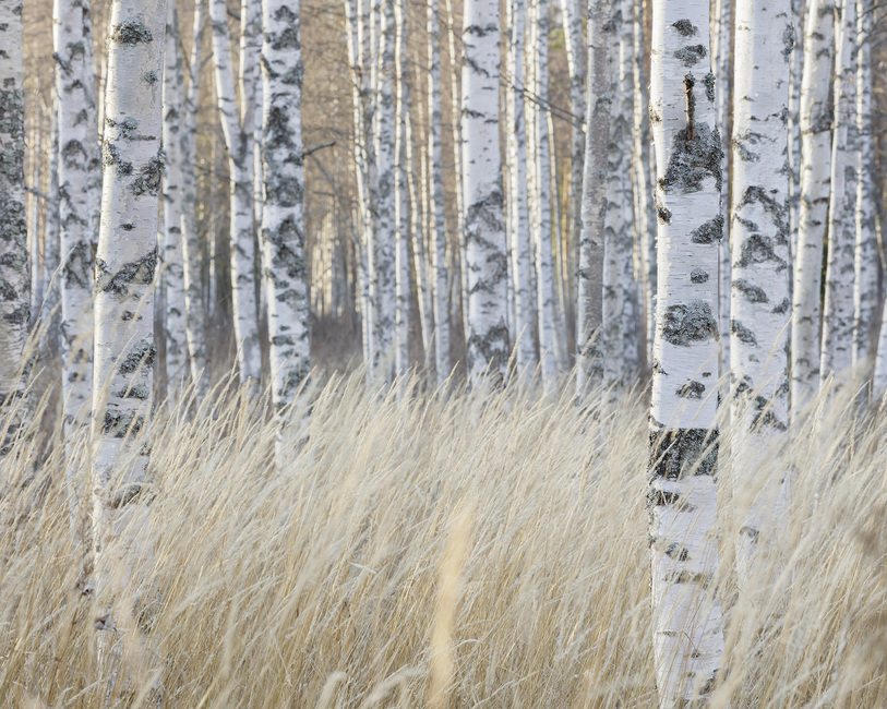 Light Birch Forest