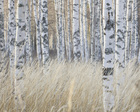 Фотообои - Light Birch Forest