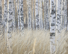 Canvastavla - Light Birch Forest