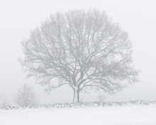 Fototapet - Winter Tree by Stone Wall