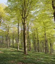 Canvastavla - Summer Beech Wood