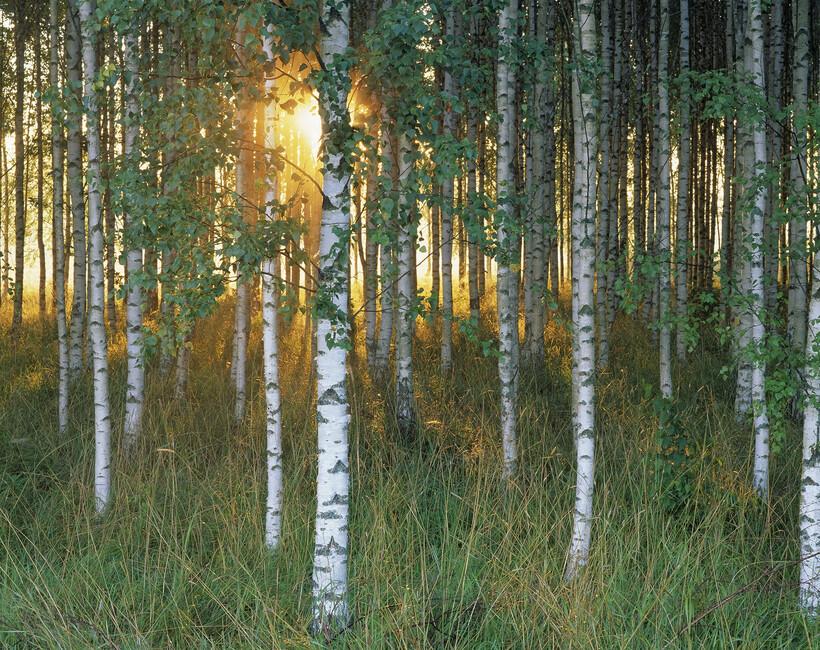 Sunbeam through birch forest wall mural photo for Birch forest wall mural