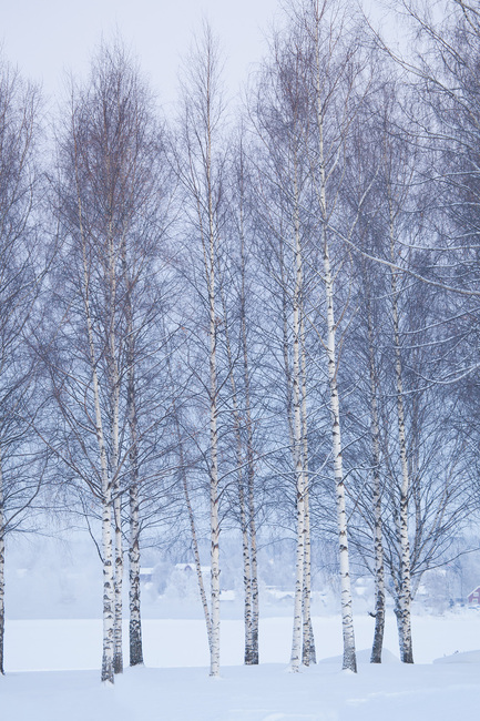 Winter Birch in Mora, Sweden