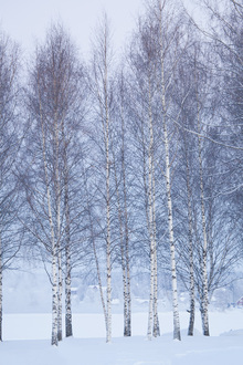 Canvastavla - Winter Birch in Mora, Sweden