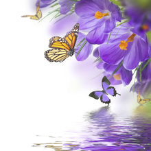 Wall Mural - Butterfly Spring Crocuses