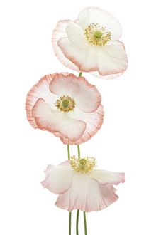 Canvastavla - Delicate Poppies