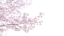 Canvastavla - Divine Cherry Blossoms