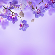 Fototapet - Soft Purple Orchids