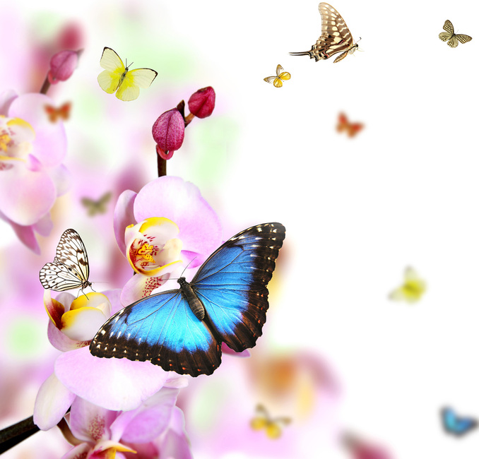 Butterflies and Orchid Blossoms