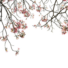 Fototapet - Cherry Branches