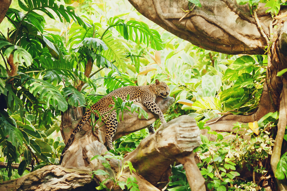 Leopard Dozing in the Jungle