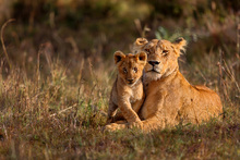 Fototapet - Lion Mother and Cub