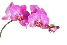 Fototapet - Innocent Orchid