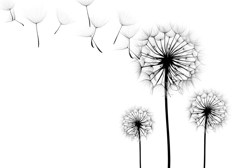 Silhouette of Dandelions Seeds, black and white