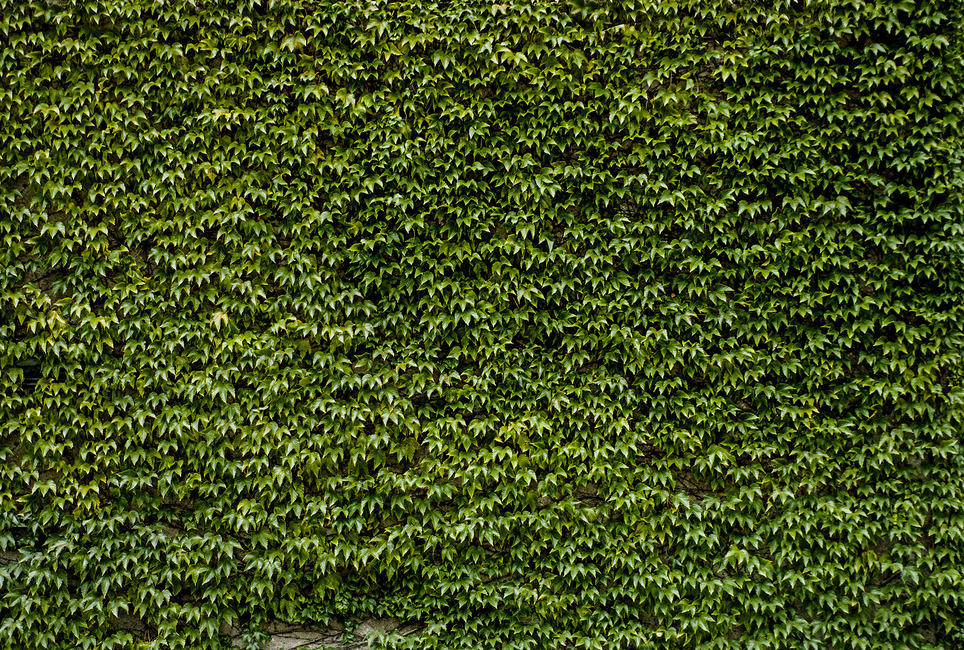 Wild Ivy Wall