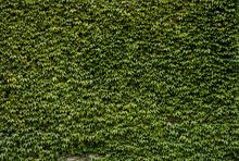 Wall Mural - Wild Ivy Wall
