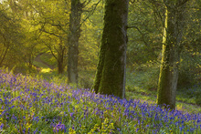 Canvas print - Bluebell Woods at Batcombe