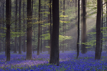 Canvas print - Bluebells in Dawn Sunlight