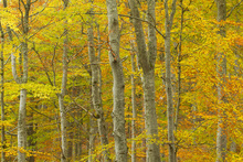 Canvas print - Common Beech Woodland
