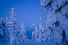 Fototapet - Snow Laden Taiga Woodland