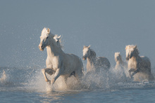 Fototapet - Angels of Camargue