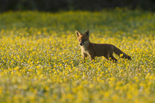 Fototapet - Red fox cub