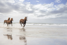 Canvas print - Horses on South African Beach
