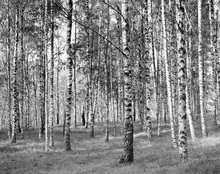 Canvas print - Birch Trees, black and white
