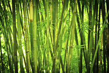 Canvastavla - Green Bamboo