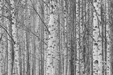 Canvas print - Gotland Birch Forest