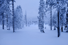 Canvas print - Blue Forest in Lapland, Sweden